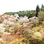 世界遺産 奈良・吉野山でのお花見☆